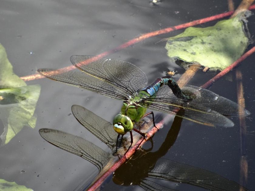 Emporer ovipositing - Black Lake, John Roberts.JPG